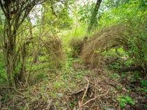 Muśnięcie rośliny w bujny zielenieją las, r w łuku tak, że końcówki dotykają ziemię obrazy stock