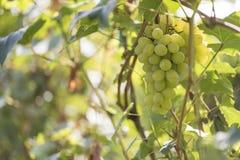 Muśnięcie zieleni winogrona Obrazy Royalty Free
