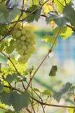 Muśnięcie zieleni winogrona Obrazy Stock