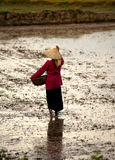 ρύζι που σπέρνει τη βιετνα&mu Στοκ φωτογραφία με δικαίωμα ελεύθερης χρήσης