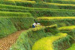 Mu Cang柴,越南- 2016年9月18日:与收获米的Hmong妇女的水稻在Mu Cang柴区,越南 免版税库存图片