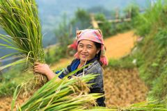 Mu Cang Chai, Vietnam - Sep 17, 2016: Portrait of minority Hmong woman harvests rice on terraced paddy field.  Royalty Free Stock Photography