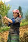 MU Cang Chai, Vietname - 17 de setembro de 2016: O retrato da mulher de Hmong da minoria colhe o arroz em campo de almofada terra fotos de stock royalty free