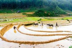 MU CANG CHAI, YENBAI, VIETNAM - JUNI 04, 2011 - ploga fälten med bufflar Arkivfoto