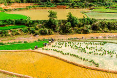 MU CANG CHAI, YENBAI, VIETNAM - MAY 16, 2014 - Ethnic farmers planti Royalty Free Stock Photos