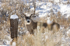 muł jeleni Obraz Stock