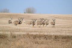 muł jeleni Zdjęcie Royalty Free