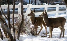 muł jeleni Fotografia Royalty Free