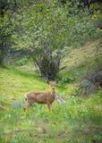 Muła rogacza królicy pozycja w lasowej, patrzeje kamerze z i Obrazy Royalty Free