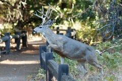 Muła rogacza samiec doskakiwania ogrodzenie Obrazy Royalty Free