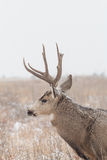 Muła rogacza samiec zakończenie Up w śniegu Zdjęcia Stock