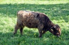 Mucca 1 dell'altopiano Fotografia Stock