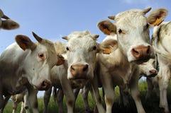 Mucca Immagini Stock