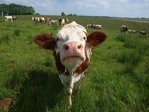 Mucca. Fotografia Stock Libera da Diritti