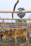 mucca Immagine Stock