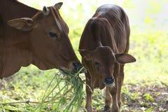 Mucca adulta con il vitello del bambino Fotografia Stock Libera da Diritti