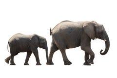 Mucca africana e più giovane della famiglia dell'elefante del deserto isolati su bianco Fotografia Stock Libera da Diritti
