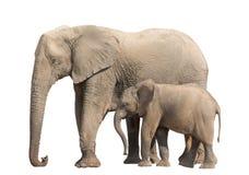 Mucca africana e più giovane della famiglia dell'elefante del deserto isolati su bianco Immagine Stock Libera da Diritti