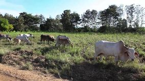 Mucca al campo stock footage