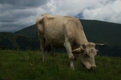 Mucca all'alpe di Nock, Austria Immagine Stock