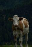 Mucca all'alpe di Nock, Austria Fotografia Stock