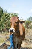 Mucca all'azienda agricola fotografie stock libere da diritti