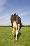Mucca all'azienda agricola Fotografia Stock