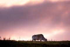 Mucca alla prateria durante il tramonto Fotografie Stock Libere da Diritti
