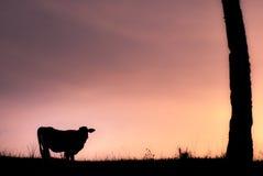 Mucca alla prateria durante il tramonto Fotografia Stock Libera da Diritti