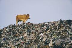 Mucca alla zona di scarico di Piyungan fotografia stock libera da diritti