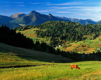 Mucca alle montagne di Mala Fatra Fotografia Stock