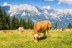 Mucca in alpi Immagini Stock