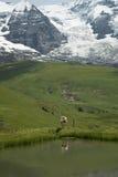 Mucca in alpi svizzere Immagini Stock Libere da Diritti