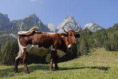 Mucca alpina Fotografia Stock