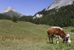 Mucca alpina Immagini Stock Libere da Diritti