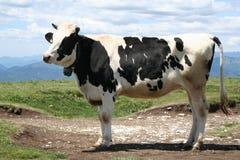 Mucca alpina, con Bell. Immagini Stock