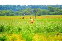 Mucca in alta erba Fotografia Stock Libera da Diritti
