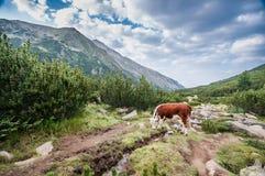 Mucca in alte montagne Fotografia Stock
