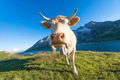 Mucca in alto pascolo alpino sulle alpi svizzere Immagini Stock