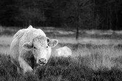 mucca ambulante Immagine Stock Libera da Diritti