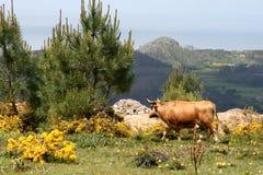 Mucca ambulante in paese spagnolo Fotografia Stock