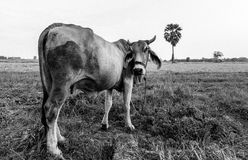 Mucca arrabbiata fotografia stock