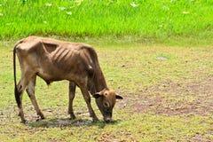 Mucca asiatica di bloodline nel campo tropicale Immagine Stock Libera da Diritti