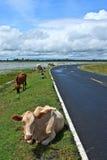 Mucca asiatica di stirpe nel campo tropicale Immagine Stock Libera da Diritti