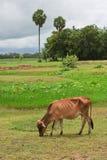 Mucca asiatica di stirpe nel campo tropicale Immagini Stock