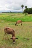 Mucca asiatica di stirpe nel campo tropicale Fotografia Stock