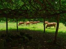 Mucca asturiana Fotografie Stock