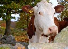 Mucca in autunno Immagini Stock