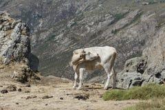 Mucca beige che gira la sua testa sul prato della montagna Fotografia Stock
