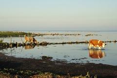 Mucca bevente Fotografia Stock
